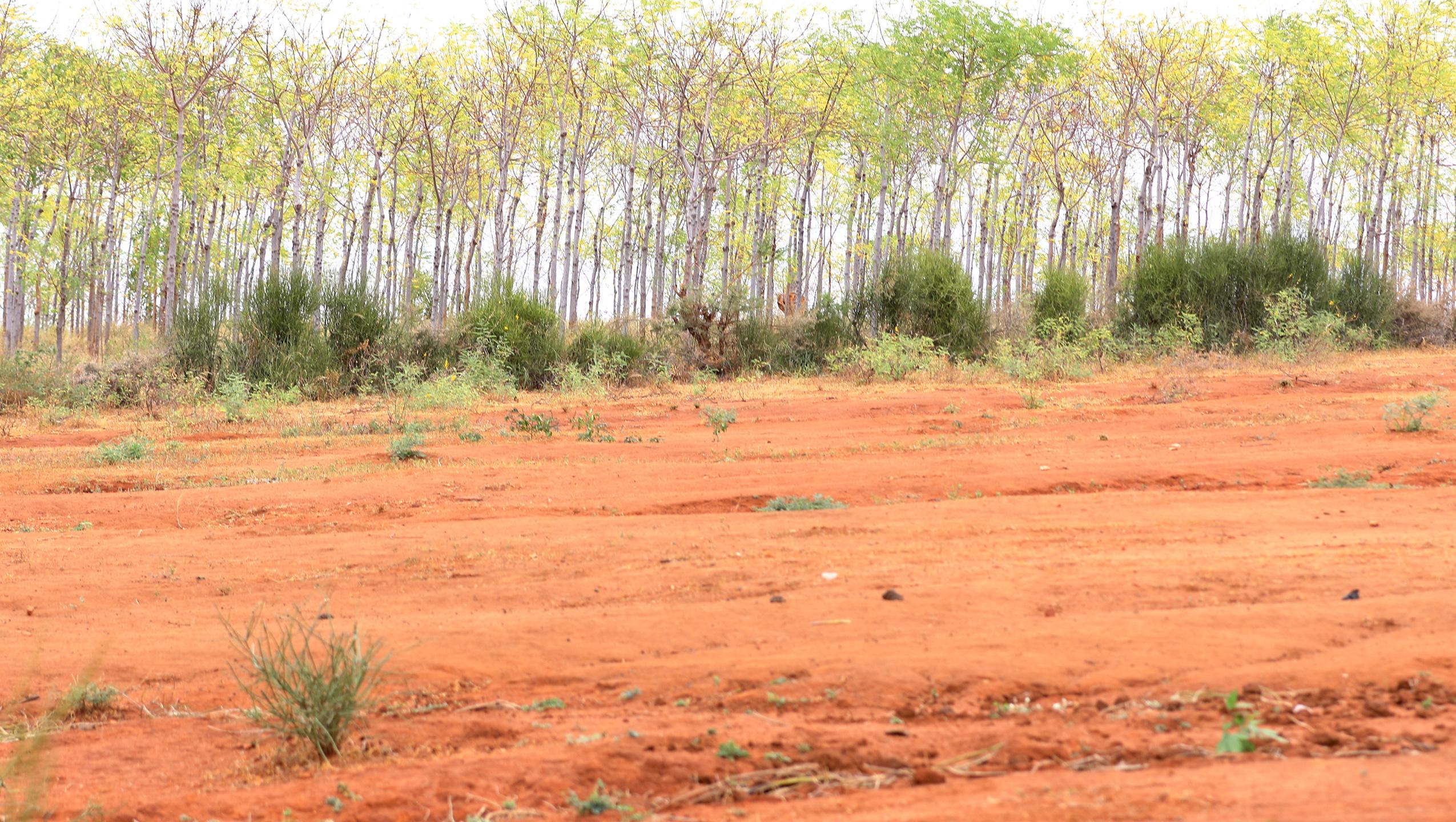 Plantering av träd i semi-öknen